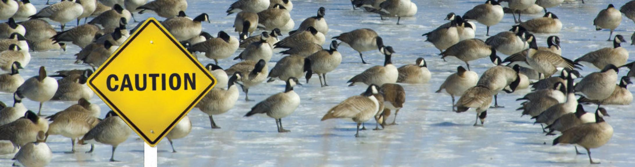 Geese on ice with sign saying caution